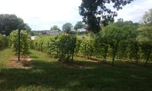 Stone Hill Vines