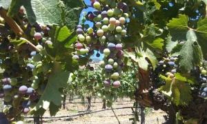 Montelena grapes