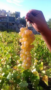 Merwah, Lebanese Local Grape Variety -Credit Broadbent