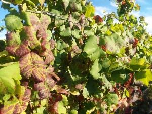 Standing Stone vines